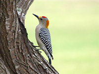 Photographs of Woodpeckers