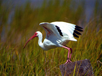 Photographs of Ibis, and Spoonbills