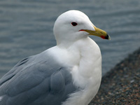 California Gull #2