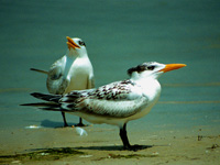 Immature Royal Terns