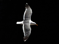 Western Gull in the Dark