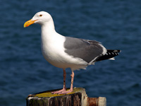 Western Gull on a Post