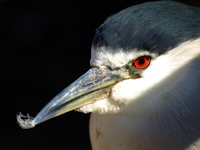 Black-crowned Night-heron Profile