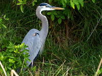 Great Blue Heron in the bushes