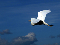 Great Egret in the clouds