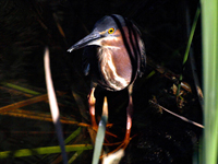 Green Heron in the shadows