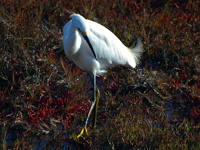 Snowy Egret in Pickleweed