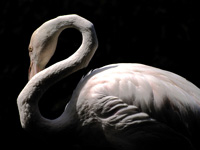Greater Flamingo #1