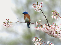 Eastern Bluebird in Blossoms