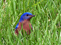 Eastern Bluebird in Grass