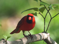 Northern Cardinal Looking at You