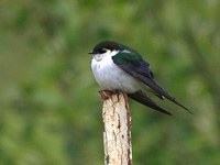 Violet-Green Swallow on a Post
