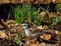 White-throated Sparrow #2