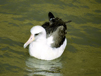Laysan Albatross Swimming