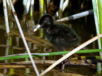 Juvenile Virginia Rail
