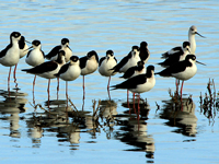 Black-neck Stilts with an American Avocet