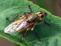 Robber Fly #2