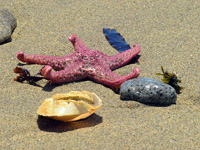 Sea Star and Shell