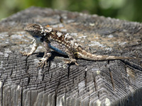 Fence Lizard Shedding