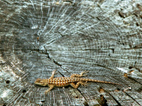 Fence Lizard on a Stump